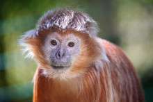 The Lutung Monkey Portrait