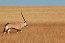 Oryx & Gemsbok In Nature