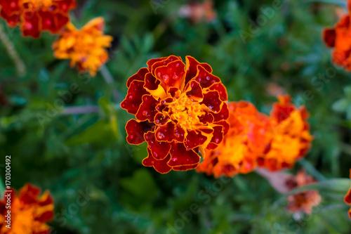Zdjęcie XXL kwiat patula, kropla wody