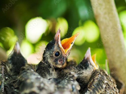 Vászonkép Robins in Nest