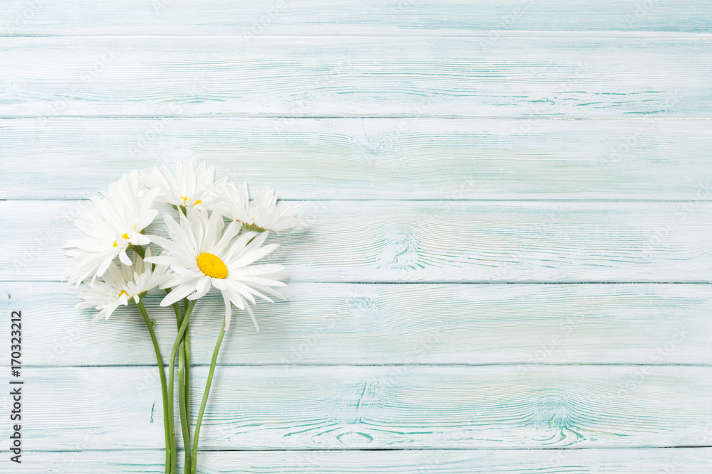 Fototapety, obrazy: Garden chamomile flowers