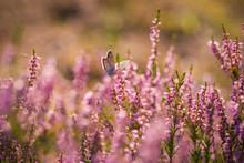 Heather. Butterfly On A Bush O...