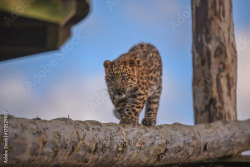 Plakat Leopard Cubs w Yorkshire Wildlife Park