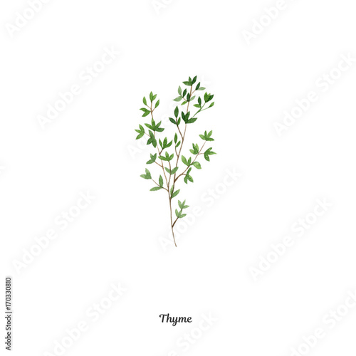 Handpainted watercolor poster with thyme Fototapete