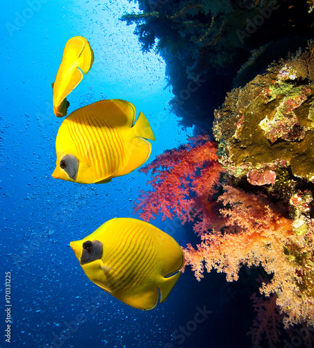 Fototapety, obrazy: Underwater image of coral reef and School of Masked Butterfly Fish