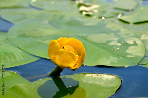 Poster de jardin Nénuphars Yellow water lily spatter-dock among green leaves