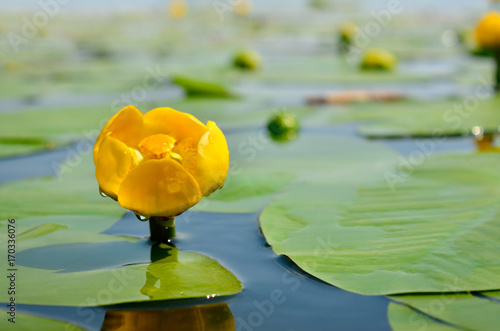 Stickers pour porte Nénuphars Yellow water lily spatter-dock among green leaves