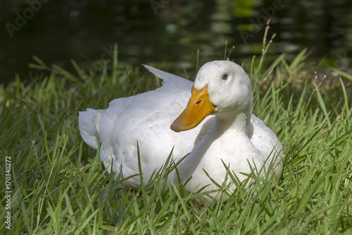 Photo  White duck sits on the green grass next to a pond or lake