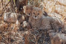 Cheetah In Nature