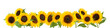canvas print picture - Sunflowers isolated on white background