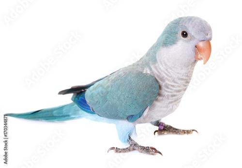 Obraz na plátně Monk parakeet in studio