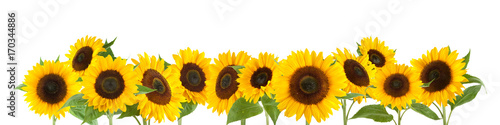 Obraz na plátně Sunflowers isolated on white background