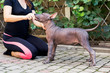 woman gives a command to her Mexican Hairless Dog puppy. Dog training.