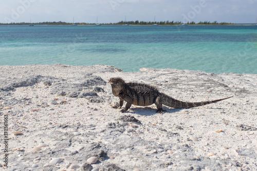 Fototapety, obrazy: Single iguana on the stone beach