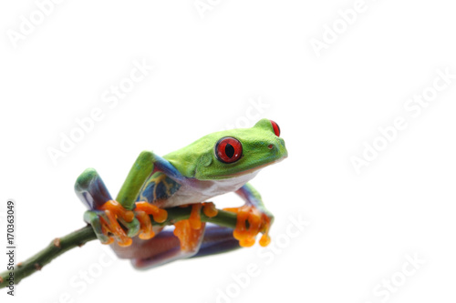 Spoed Foto op Canvas Kikker Red eyed tree frog isolated on white background