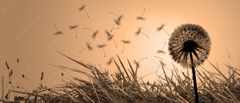 Fototapety, obrazy: Schöne Pusteblume beim Sonnenuntergang