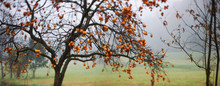 Overview Of A Persimmon Tree, Intentionally Blurred