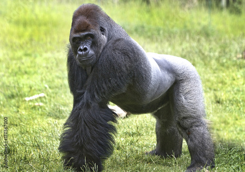 Large western lowland Gorilla looking at camera with lush grass in the backgroun Wallpaper Mural