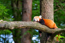 Lazy Red Panda Bear In Tree