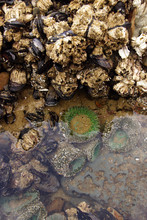 Barnacles, Mussels And Sea Ane...