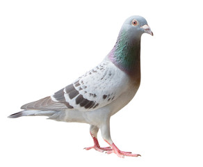 full body of sport racing pigeon bird looking eye contact to camera isolate white background