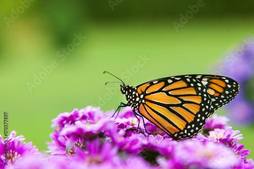 Fotografia Monarch Butterfly Profile