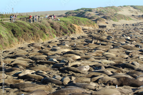Fotomural Elephant seals rookery during mating season near San Simeon, California, USA