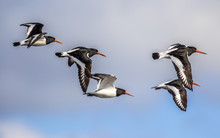 Group Of Flying Oystercatcher
