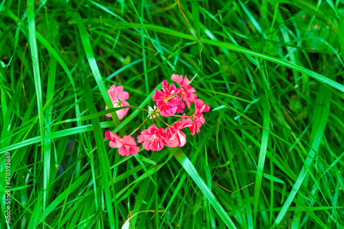 Spoed Foto op Canvas Groene Bright red flower in a green grass background on the theme of summer landscape