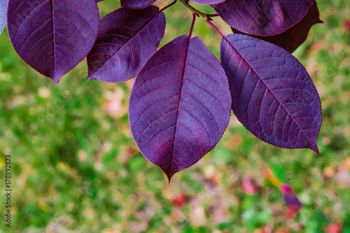 Purple leaves of wild cherry, background and topic autumn, landscape