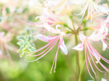 Dreamy, Pink And White Cluster Amaryllis In Soft Focus