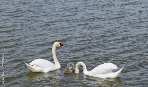 Foto auf Acrylglas Schwan Swans with cygnets, baby swan