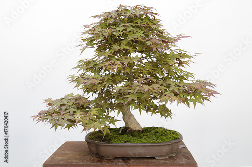 Japanese maple (Acer Palmatum) bonsai isolated on white