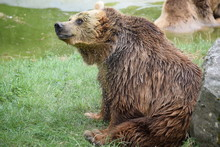 Brown Bear Shakes Off Water