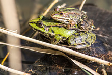 Closeup Of Couple Of European Green Frogs Mating In Pond