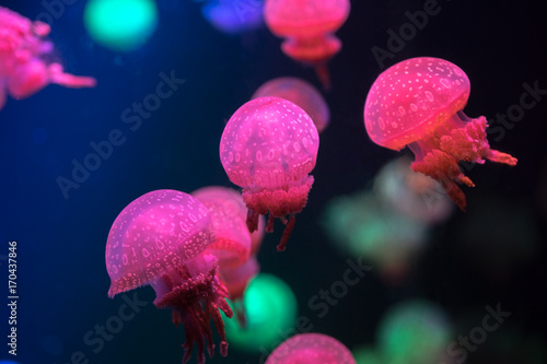 Fotografie, Obraz  Small jellyfishes swimming in aquarium.