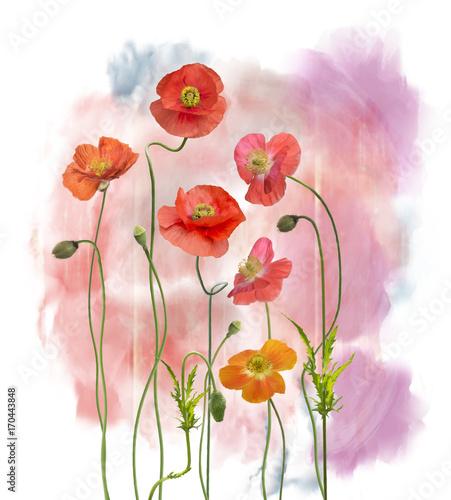 Akwarela kwiatów maku