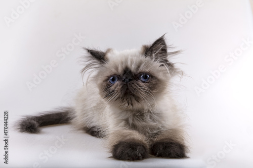 Iranian Cat Kitten Buy This Stock Photo And Explore