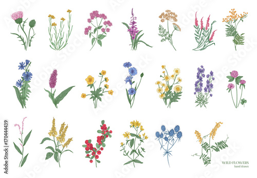 fototapeta na ścianę Collection of beautiful wild herbs, herbaceous flowering plants, blooming flowers, shrubs and subshrubs isolated on white background. Hand drawn detailed botanical vector illustration.