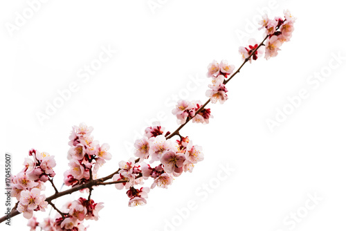 pink cherry blossom or sakura on white