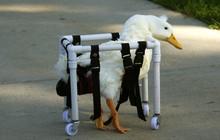 Injured Duck