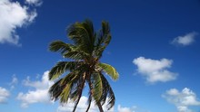 This Is A Video Of A Plam Tree In The Florida Keys.  The Plam Is Blowing In The Wind With A Pretty Blue Sky And White Clouds.