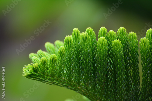 Photo Close-up leaf araucaria heterophylla
