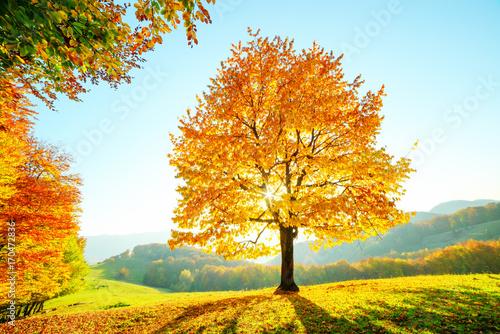 Deurstickers Honing Majestic beech tree with sunny beams