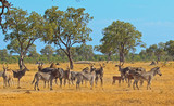 Fototapeta Sawanna - African scene with eland, zebra and impala on the african plains in etosha