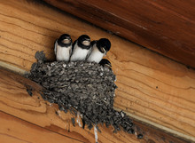 Barn Swallow Chicks In The Nest
