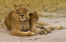 Mother Lioness With Her Cub Re...