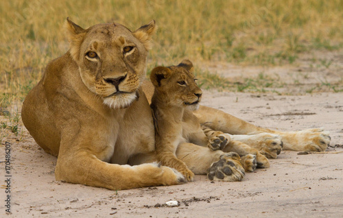 Foto  Mother Lioness with her cub resting betweej her paws in Hwange, Zimbabwe