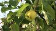 Natürlich gewachsener Apfel hängt am Baum, Blätter bewegen sich im Wind