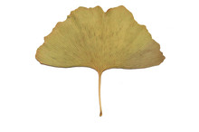 Ginkgo Leaf Isolated On White Background. Green Ginkgo-leaf. Mature Ginkgo Leaves. Ginkgo Leaves Yellow.